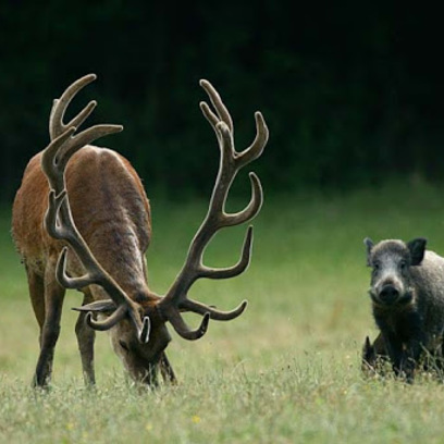 Hirdetmény - Kárt okozó vadak kilövése